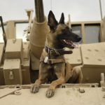 military_war_dog