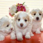 monta_canina_a_chi_spettano_i_cuccioli